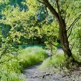 Saule vert à la forêt sunlit de clairière au printemps Images stock