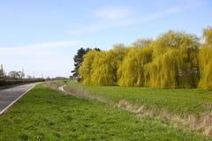 Saules dans le printemps Photos libres de droits