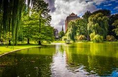 Saules pleurants et un étang dans le jardin public de Boston Photos stock