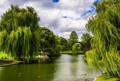 Saules pleurants et un étang dans le jardin public de Boston Image stock