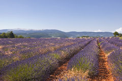 Sault lavender Royalty Free Stock Image
