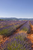 Sault lavender Royalty Free Stock Images
