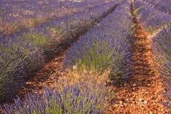 Sault lavender Stock Photos