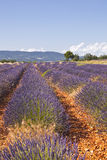 Sault lavender Royalty Free Stock Photography