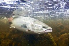 Saumons atlantiques sauvages sous-marins Photos libres de droits