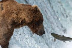 Saumons contagieux d'Alaska d'ours brun Images libres de droits