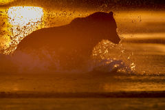Saumons contagieux d'ours gris pendant le lever de soleil Photographie stock libre de droits