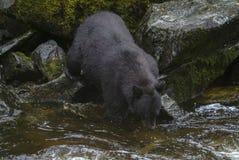 Saumons d'Alaska de chasse d'ours noir en rivière Images libres de droits