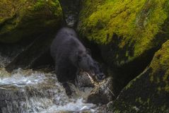Saumons d'Alaska de chasse d'ours noir en rivière Photographie stock libre de droits