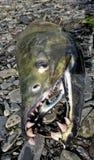 Saumons de copain en Alaska Photographie stock libre de droits