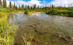 Saumons de saumon rouge en rivière de Gulkana, Alaska photographie stock libre de droits