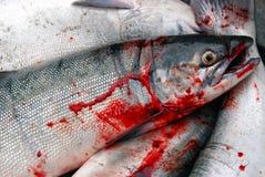 Saumons fraîchement pêchés en Alaska, Etats-Unis images libres de droits