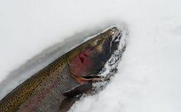 Saumons masculins indigènes attrapés frais de truite à tête d'acier courus par hiver Photos stock