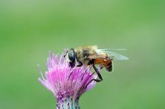 Saupoudrage - mouche de Syrphyd sur la fleur photographie stock