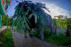 SAURAHA,尼泊尔, 9月, 02 -2017 :在运载在他们的后面的Sauraha街道的巨大的大象生叶,尼泊尔 库存照片