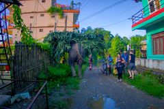 SAURAHA, ΝΕΠΑΛ, 02 ΣΕΠΤΕΜΒΡΙΟΥ, -2017: Ο τεράστιος ελέφαντας στις οδούς της μεταφοράς Sauraha στις πλάτες τους βγάζει φύλλα, Νεπά Στοκ εικόνες με δικαίωμα ελεύθερης χρήσης