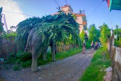 SAURAHA, NÉPAL, SEPTEMBRE, 02 -2017 : L'éléphant énorme dans les rues de Sauraha portant dans leurs dos pousse des feuilles, le N Images libres de droits