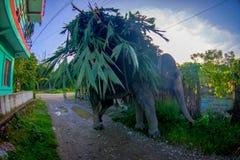 SAURAHA, NEPAL, SEPTIEMBRE, 02 -2017: El elefante enorme en las calles de Sauraha que llevan en sus partes posteriores hojea, Nep Imagen de archivo