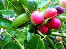 Saure Frucht Karonda-Frucht Lizenzfreie Stockfotografie