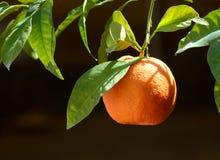 Hängende Orange lizenzfreie stockfotografie