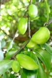 Saures Aroma des neuen Garcinia das tropische thailändische Kraut Stockfotos