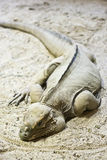 Saurian. Green saurian on sand. tropical animal Royalty Free Stock Images