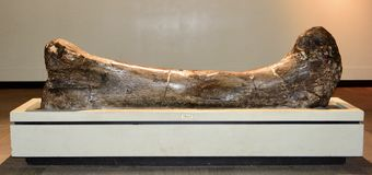 Sauropod nogi kość Obrazy Stock
