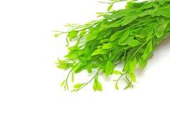 sauropus för leaf för androgynusbuske söt ätlig royaltyfria foton