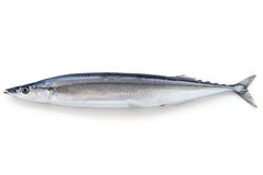 Saury Stock Photo