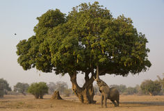 Sausage delight. An African Elephant bull (Loxodonta africana) feeds on a Sausage Tree (Kigelia africana). The Sausage Tree is an African tree; its flowers and Stock Image