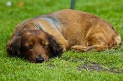 Sausage dog. A sleeping sausage dog royalty free stock photo