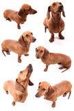 Sausage dog poses stock photos