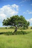 Sausage tree Royalty Free Stock Images