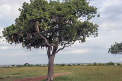 A sausage tree alias kigelia feathered. In Masai Mara in Kenya Stock Photos