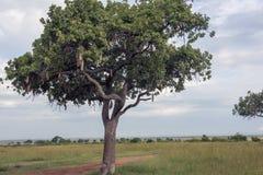 A sausage tree alias kigelia feathered Stock Photos