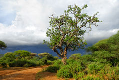 Sausage tree along dirt road. African road and big sausage tree (Kigelia africana) is a typical plant in tropical Africa shown at sunset near Manyara Lake Royalty Free Stock Photo