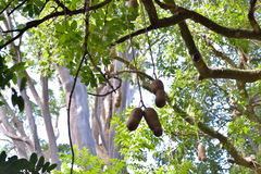 Sausage tree. Big fruit of sausage tree (Kigelia africana). Mauritius Royalty Free Stock Photography