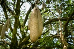 Sausage tree Kigelia africana fruits hanging in tree. Sausage tree Kigelia africana fruits hanging in tree Royalty Free Stock Photo
