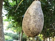 Sausage tree Kigelia africana fruits hanging in tree. Unusual African sausage tree with sausage like fruits that hang down from the limbs on long rope like Royalty Free Stock Image