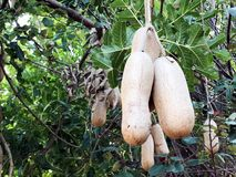 Sausage tree Kigelia africana fruits hanging in tree. Unusual African sausage tree with sausage like fruits that hang down from the limbs on long rope like Royalty Free Stock Photography