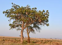 Sausage Tree Kigelia Africana at Serengeti, Tanzania. The Serengeti National park covers 14,750 square kilometres of grassland plains, savanna, riverine forest Royalty Free Stock Images