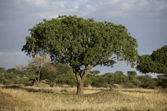 Sausage tree, Kigelia pinnata. Tanzania Royalty Free Stock Photo