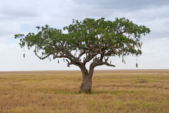 Sausage Tree (Kigelia). On Savanna landscape in Africa Royalty Free Stock Images