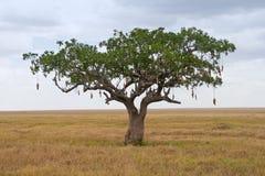 Sausage Tree (Kigelia) Royalty Free Stock Images