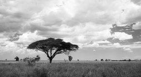 Sausage Tree (Kigelia). On Savanna landscape in Africa (black and white Stock Photo