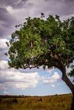 Sausage tree in Masai Mara Royalty Free Stock Image