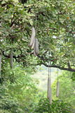Sausage tree in Tanzanian forest Royalty Free Stock Photography