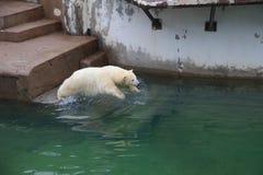 Saut d'ours blanc dans l'eau Image stock