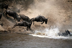 Saut de Wildebeest de la foi (Kenya) Photo stock