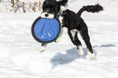 Saut du chien noir et blanc dans la neige Photo stock